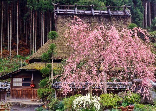 小野郷の桜