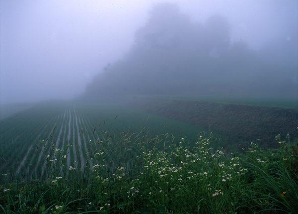 新潟県松之山 霧の中の花