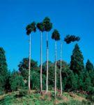 松之山の木